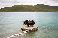 A lone yak stands on the shores of Yamdrok Lake in Tibet. Adorned in colorful attire and decorations, its owner charges tourists to pose for photos with it. Nestled in at over 4,400m above sea level, the turqoise freshwater lake glistens, surrounded by rolling grasslands and snow-capped mountains. The climate is changing here however as temperatures are rising, altering the highland grasslands and the fragile ecosystems on the 'roof of the world'.