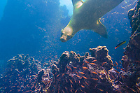 Underwater picture of sea lion playing and coming towards you, with a school of orange fish in the foreground, in the Pacific Ocean, Galapagos Islands