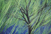Weeping Willow (Salix x sepulcralis), Tree in early spring, Raleigh, Wake County, North Carolina, USA