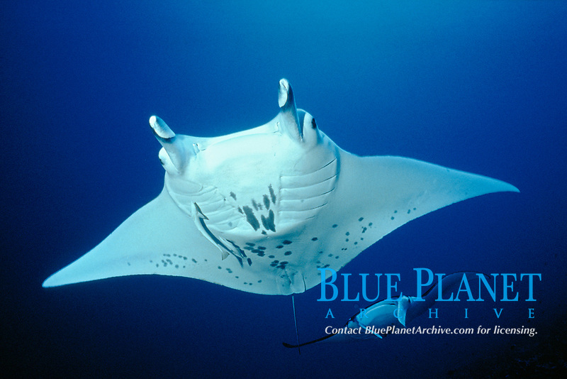 reef manta ray, Mobula alfredi, Rangiroa Atoll, Poynesia, S. Pacific Ocean