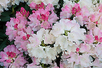 Rhododendron 'Dreamland' pink and white