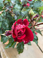 BNPS.co.uk (01202) 558833. <br /> Pic: WorldOfRoses/BNPS<br /> <br /> Pictured: The Captain Tom Rose. <br /> <br /> A new red rose variety cultivated 10 miles away from Captain Tom Moore's garden has been named in memory of the national hero who raised millions for the NHS. <br /> <br /> The rose bush, developed by World of Roses, is expected to raise a quarter of a million pounds for the Captain Tom Moore Foundation.<br /> <br /> The Captain Tom Rose will go on sale in garden centres across the country this week and the company hopes to sell 100,000 of them by 2022, with £2.50 from each sale going to the foundation.