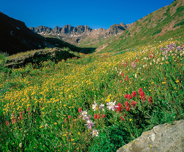Wildflowers in American Basin, San Juan Mountains, west of Lake City, Colorado. .  John leads wildflower photo tours into American Basin and throughout Colorado. All-year long.