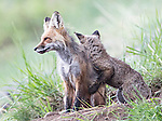 A baby fox seems to be hugging its mother.