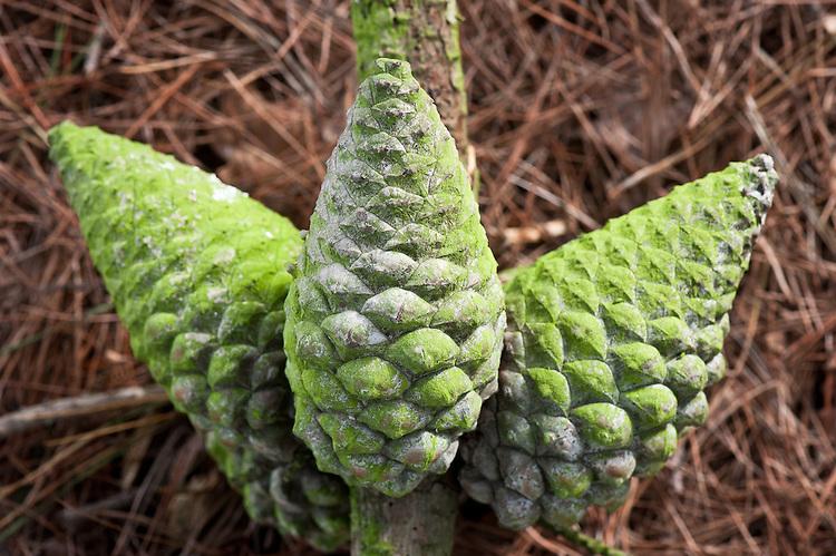 Cones of Monterey pine (Pinus radiata), early April.