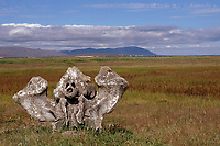 bowhead whale, Balaena mysticetus, skull buried in the earth at the historic site of Masik. Chukotka. Siberia, Russia, Arctic