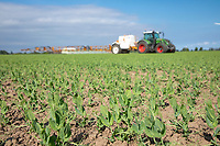 Spraying peas with trailed sprayer - Lincolnshire, April
