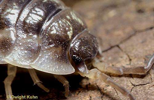 1Y16-026c  Sow Bug - head and eyes - Oniscus spp.