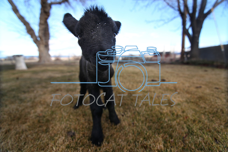 A 4-day-old bummer lamb runs around the Hussman Ranch in Gardnerville, Nev., on Thursday, Jan. 13, 2011. Four generations of Hussmans have raised sheep at the Carson Valley ranch dating back to the 1860s. .Photo by Cathleen Allison