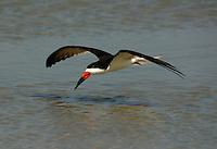 Black skimmer flying
