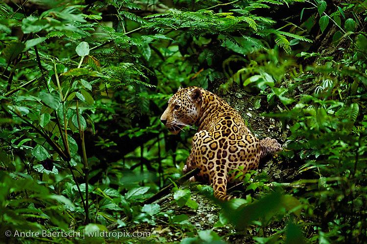 Jaguar (Panthera onca) in lowland tropical rainforest, Manu National Park, Peru.