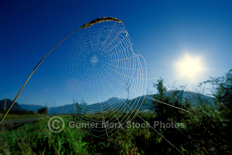 Spider Web attached to Seedheads, BC, British Columbia, Canada