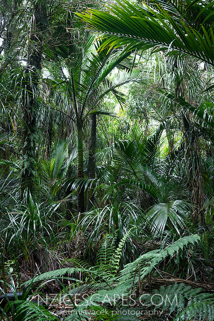 Native Nikau Palm forest near Karamea, Kahurangi National Park, West Coast, Buller Region, South Island, New Zealand, NZ