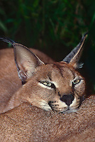 612754009 a captive wildlife rescue caracal felis caracal rests his head on the body of another caracal at a wildlife rescue facillity in florida species is native to sub-saharan africa