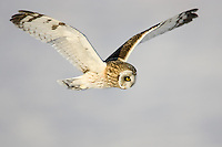 Short-eared Owl (Asio flammeus) flying while hunting for food at Fort Edward Grasslands, Fort Edward, New York
