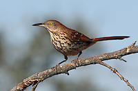 A large, skulking bird of thickets and hedgerows, the Brown Thrasher has one of the largest song repertoires of any North American bird.