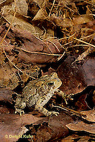 FR11-055z  American Toad - sitting in leaves, camouflaged - Anaxyrus americanus, formerly Bufo americanus