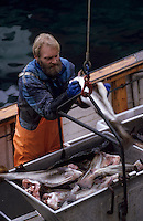 Europe/Norvège/Iles Lofoten/Rene : Pêcherie - Déchargement d'un bateau rentrant de la pêche au skrei-cabillaud