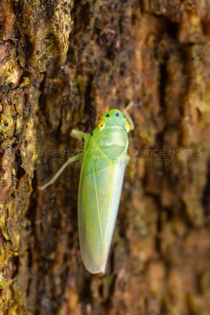 Leafhopper (Pagaronia minor)