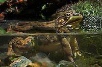 GREEN FROG..Nova Scotia, Canada..(Rana clamitans melanota).