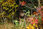 Grey wolves in fall color, Canada