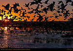 Snow Geese, Sunrise Silhouette, Bosque del Apache Wildlife Refuge, New Mexico