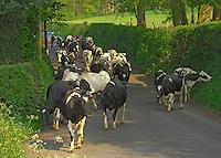 Pedigree Holstein dairy cows on their way in for milking, Longridge, Lancashire.