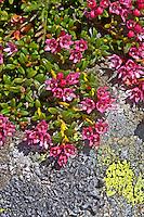 Echte Alpenazalee, Alpen-Azalee, Gamsheide, Gemsheide, Gämsheide, Alpenheide, Hirschheiderich, Felsenrösche, Loiseleuria procumbens, Kalmia procumbens, Alpine azalea, Alpine-azalea, Dwarf azalea