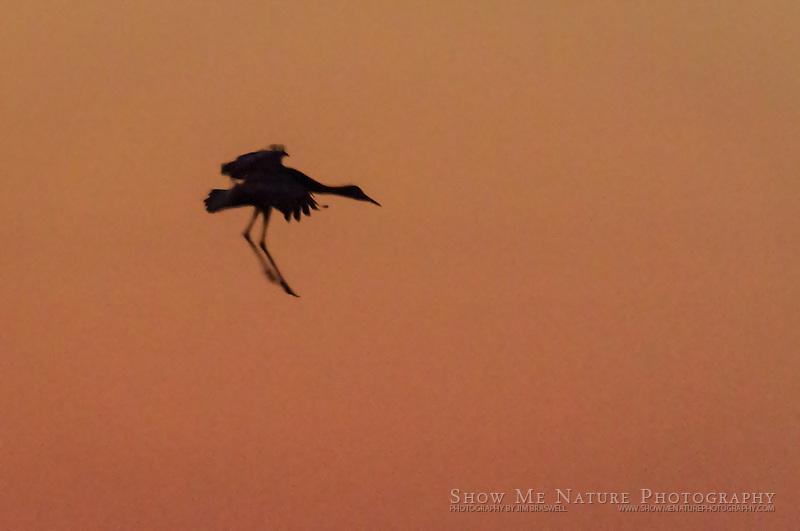 Sandhill Crane (silhouette) landing in sunset color