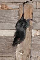 Hausratte, Haus-Ratte, Ratte, Dachratte, klettert in einem Stall auf dem Gebälk herum, Rattus rattus, black rat, roof rat, house rat, ship rat