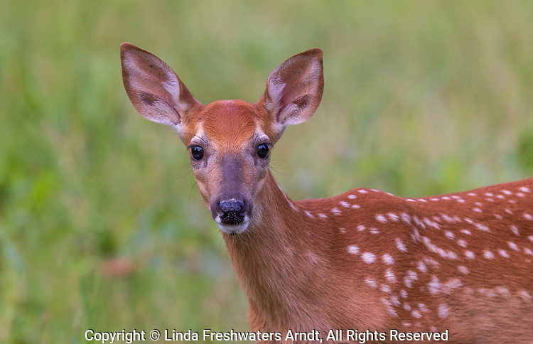 Close-up of a white-tailed fawn in northern Wisconsin.