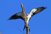 Juvenile swallow-tailed kite arriving at perch, note the buffiness on the breast.