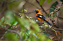 Orange-backed Troupial (Icterus croconotus)  (Family Icteridae) in bank-side vegetation on the edge of the Piquiri River, Pantanal, Brasil.
