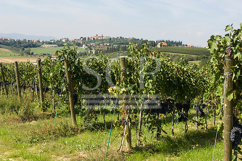 Tuscany, Italy. Grape growing in a vineyard.