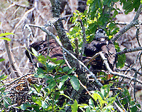 Zone-tailed hawk nest with chick on right