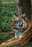 MA40-034z  Bengal Tiger - Panthera tigris