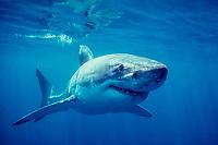 great white shark, Carcharodon carcharias, South Australia