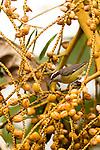 Bananaquit (Coereba flaveola), Tortuguero National Park, Costa Rica