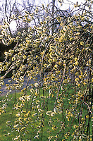 Salix caprea var. pendula aka 'Kilmarnock' aka 'Kilmarnock' willow tree in spring catkins