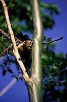 Macaco prego (Cebus apella) acuado tenta se proteger entre os galhos. Primata encontrado na Amazônia<br />Brasil<br />©Foto: Marcello Lourenço/ Interfoto<br />Cromo Cor 135mm