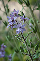 Stavesacre (Delphinium staphisagria), mid June. Native to the Mediterranean.