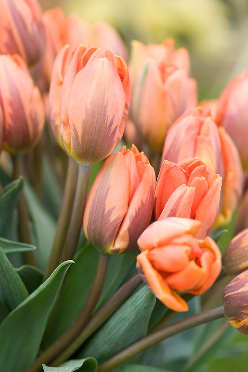 Tulip 'Princess Irene' (Triumph Group).