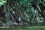 Giant Otter, Manu National Park, Peru