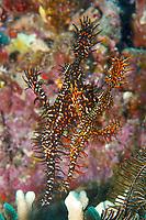 Pair of Harlequin ghost pipefish, Solenostomus paradoxus, Paradise Island, Palawan, Philippines, Indo-Pacific Ocean