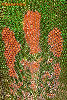1001-0803  Close-up of Pattern on Back of Gold Dust Day Gecko, Phelsuma laticauda © David Kuhn/Dwight Kuhn Photography.