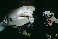 sand tiger (gray nurse) shark, Carcharias taurus, is fed by scuba diver, South Pacific Ocean