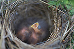 Chipping sparrow nestlings