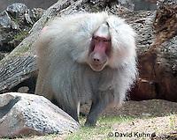 0719-1108  Male Hamadryas Baboon, Papio hamadryas  © David Kuhn/Dwight Kuhn Photography.