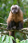 Male tufted or brown capuchin (Cebus apella) (sometimes Sapajus apella) in mid-altitude montane forest, Manu Biosphere Reserve, Peru.
