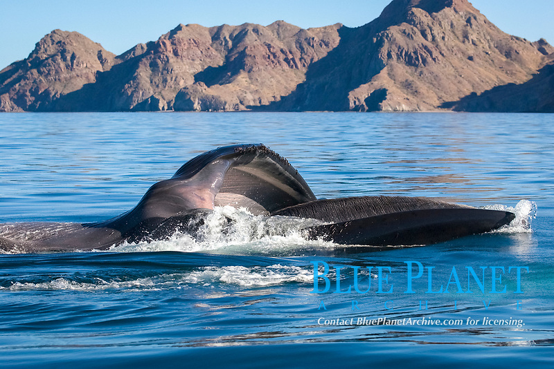 Fin whale (balaenoptera physalus) A fin whale feeding at the surface showing the baleen and the inside of its mouth. Gulf of California., Baja California, Mexico, Pacific Ocean